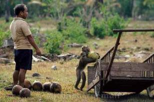İngiliz marketleri köle maymunlar için boykota başladı