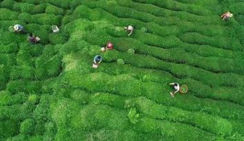 Çay toplama işçisinin günlüğü belli oldu
