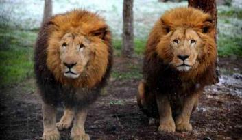 Aslanların koronavirüs testi pozitif çıktı