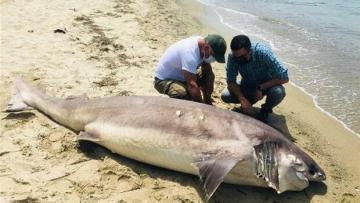 Burası Kuşadası! Dev köpek balığı sahile vurdu